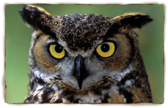A great-horned owl is hanging around the house, surely a good omen...